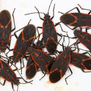 boxelder bugs with a white background