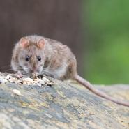 brown rat on a log